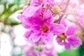 Beautiful pink flower Queen& x27;s Crape Myrtle or Queen's flower
