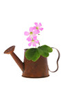 Beautiful pink flower in a watering can little rusted miniature isolated on white Stock Image