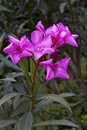 Beautiful pink flowers blooming oleander close up Stock Images