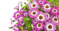 Beautiful pink flowers of cineraria Stock Image