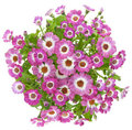 Beautiful pink flowers of cineraria Stock Images