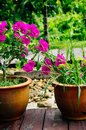 Beautiful pink flowers in the garden, floral background spring and summer concept. Soft focus of Pink Bougainvillea glabra Choisy Royalty Free Stock Photo