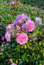 Beautiful pink flowers with green foliage. Garden roses. Unusual background.