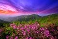 Beautiful pink flowers on mountains at sunset, Hwangmaesan mountain in Korea. Royalty Free Stock Photo