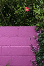 Beautiful pink garden wall a with an ivy and hedge frame Stock Image