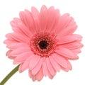 Beautiful pink gerber Royalty Free Stock Photo