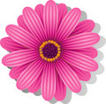 Beautiful pink Gerber Daisy Stock Photo