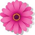 Beautiful pink Gerber Daisy Royalty Free Stock Photo