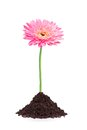 Beautiful pink gerbera daisy flower grouth in soil isolated on white background Royalty Free Stock Images