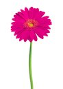 Beautiful pink gerbera flower isolated on white Stock Photos