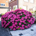 Beautiful Pink Hortensia (Hydrangea Macrophylla) growing in street near house Royalty Free Stock Photo