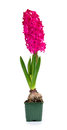 Beautiful pink hyacinth Royalty Free Stock Photos