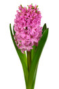 Beautiful pink hyacinth white background Stock Images