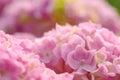 Beautiful Pink Hydrangea Flowers Closeup Royalty Free Stock Photo