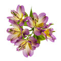 Beautiful pink lilys Royalty Free Stock Photo