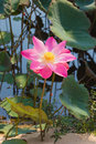 Beautiful pink lotus Stock Photography