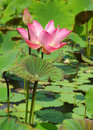 Beautiful pink lotus flower Stock Images