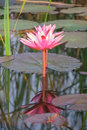 https---www.dreamstime.com-stock-photo-pink-water-lily-surface-blooming-nature-background-r-reflection-beautiful-light-effects-image111399757