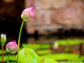 Beautiful pink lotus in a tropical garden pond Stock Image