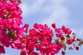 Beautiful pink magenta bougainvillea flowers and blue sky Royalty Free Stock Photo