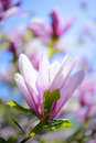 Beautiful Pink Magnolia Flowers on Blue Sky Background. Spring Floral Image Royalty Free Stock Photo