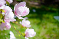 Beautiful pink magnolia flowers on green background spring floral image the Stock Photo