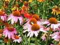 Beautiful pink and orange flowers Royalty Free Stock Photo