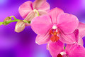 Beautiful pink orchid flower Royalty Free Stock Photo