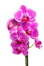 Beautiful pink orchid isolated on white background flowers Stock Image