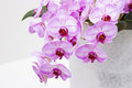 Beautiful pink orchid  - phalaenopsis Stock Photography
