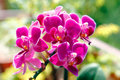 Beautiful Pink Orchids Stock Image