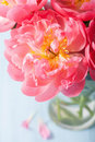 Beautiful pink peony flower bouquet in vase Royalty Free Stock Photo