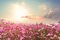 Beautiful pink and red cosmos flower field with sunshine Royalty Free Stock Photo