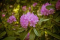 Beautiful pink rhododendron flowers on a natural background
