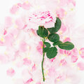 Beautiful pink rose flower and petals on white background. Flat lay, top view Royalty Free Stock Photo