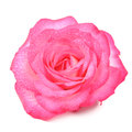 Beautiful Pink Rose Flower with Water Drops Isolated on White Background Royalty Free Stock Photo