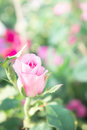 Beautiful pink rose flowers in the garden vintage style romantic blossom Royalty Free Stock Photo