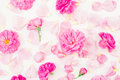 Beautiful pink rose flowers and petals on white background. Flat lay, top view. Floral pattern Royalty Free Stock Photo
