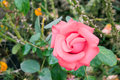 Beautiful pink rose in garden Royalty Free Stock Photography