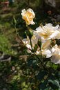 Beautiful  rose in a garden. Color - cream. Shot against other roses in the yard. Royalty Free Stock Photo