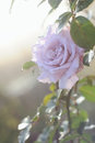 Beautiful pink rose in a garden with morning sun rays Stock Photography