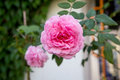 Beautiful pink rose in a garden thailand Royalty Free Stock Image
