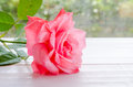 Beautiful pink rose on a white wooden table with light booked Royalty Free Stock Photo