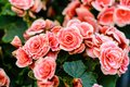 Beautiful pink roses flowers background Royalty Free Stock Photo
