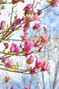 Beautiful pink spring magnolia flowers on a tree branch Royalty Free Stock Photo