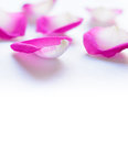 Beautiful Pink Rose Petals on the White Background Royalty Free Stock Photo