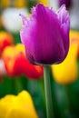 Beautiful pink tulip. Flowerbackground, gardenflowers. Garden flower. Vertical Abstract background. Royalty Free Stock Photo