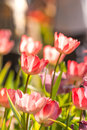 Beautiful pink tulips big bouquet Royalty Free Stock Photo