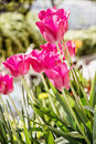 Beautiful pink tulips in the garden, springtime, close up photo Royalty Free Stock Photo