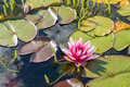 Beautiful pink water lily Royalty Free Stock Photo